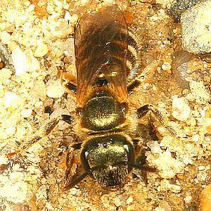 Smuklik - pszczoła ziemna